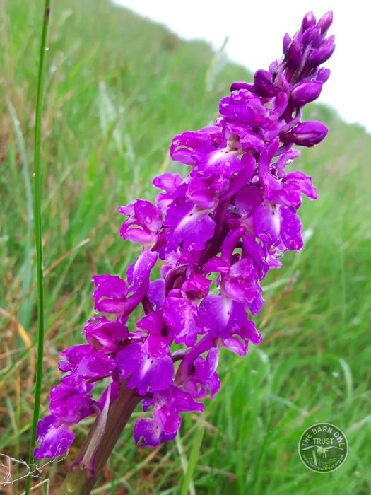 Early Purple Orchid In The LLP Wildlife Diary May 2016