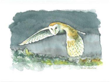 Barn Owl Evening Flight B. Woodford