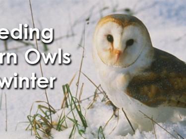 Feeding Barn Owls In Winter