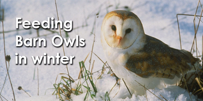 Feeding Barn Owls In Winter
