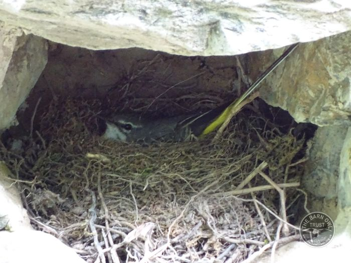 Grey Wagtail Nest LLP Wildlife Diary June 2016