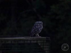 Little Owl Release
