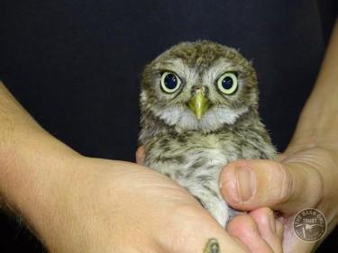 Rescued Little Owl