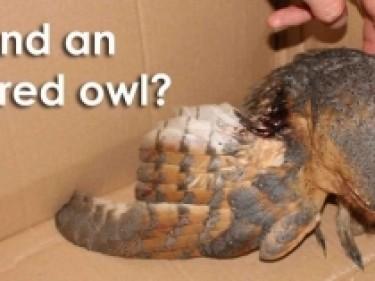 Injured Owl Sept Nov Resized