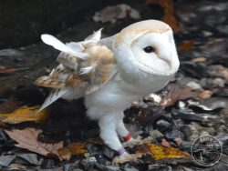 Adopt a Barn Owl with the Barn Owl Trust