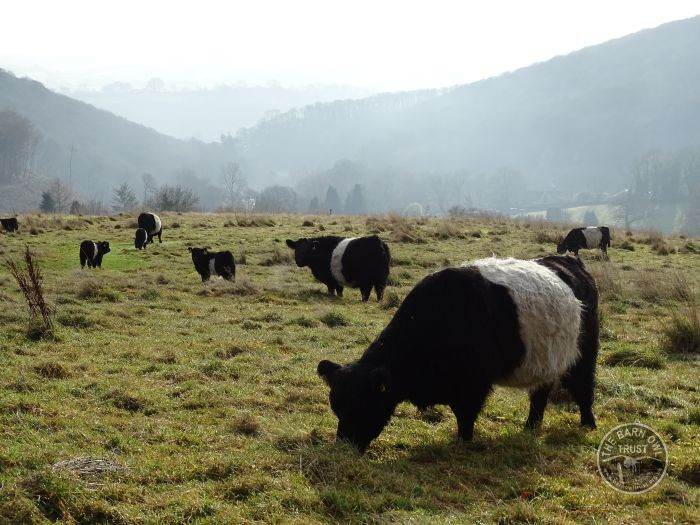 LLP Belted Galloway Cattle Grazing In The LLP Wildlife Diary December 2016