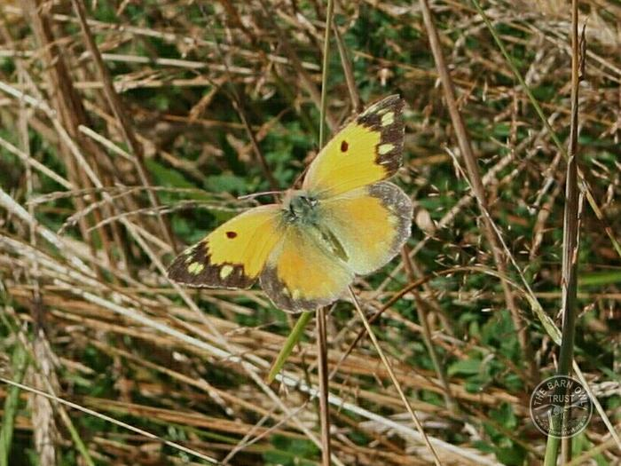 LLP Butterfly Clouded Yellow 7 [David Ramsden] 300706 (B)