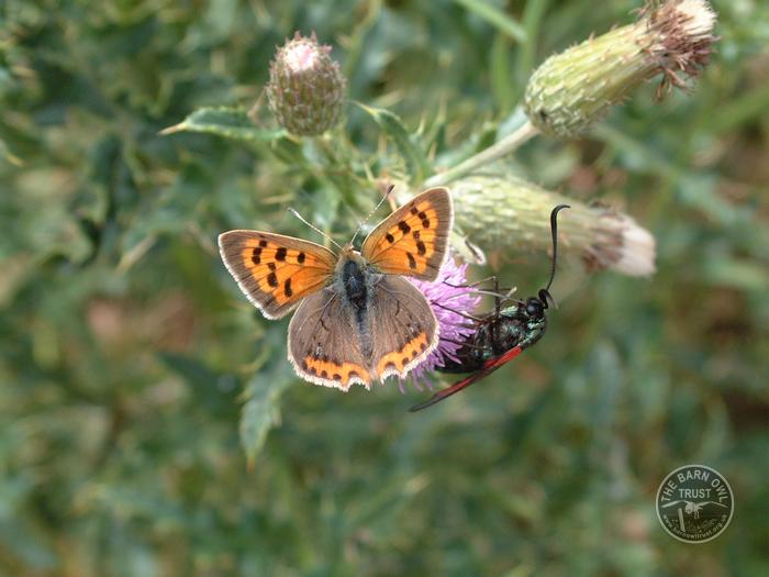 LLP Butterfly Small Copper