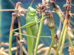 LLP Great Green Bush Cricket 1 [someone] 030704 (A)
