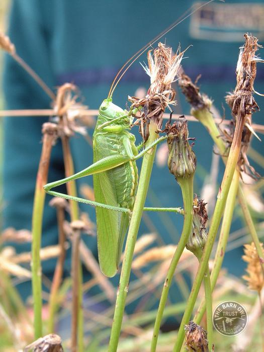 LLP Great Green Bush Cricket