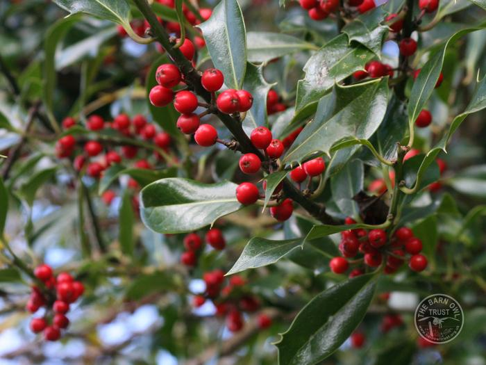 LLP Holly Berries
