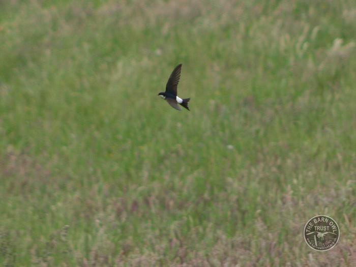 LLP House Martin flying over rough grassland
