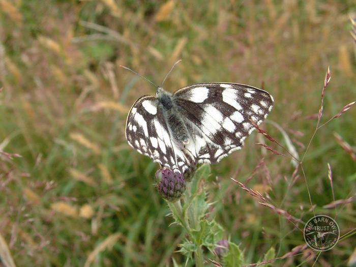 LLP Marbled White butterfly [David Ramsden] 080606 (A)