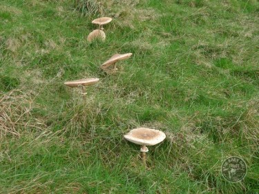 LLP Parasol Mushrooms [David Ramsden] 201111 (A)