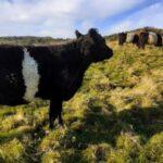 Llp cattle grazing [david ramsden] 251120 (a)