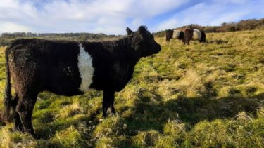 Llp cattle grazing [david ramsden] 251120 (a)