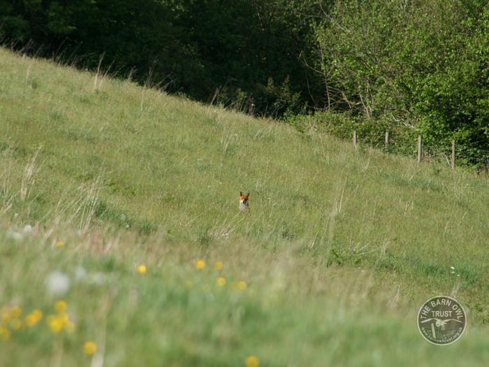LLP fox in rough grassland