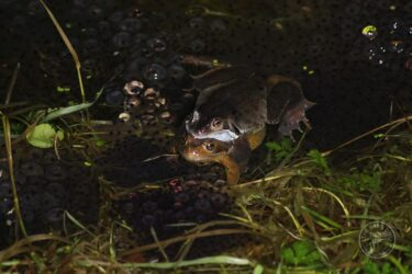 Llp frogs spawn [david ramsden] 270121 (a) 3