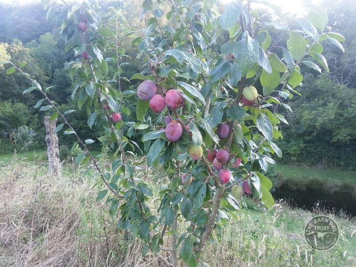 LLP Orchard Fruit Plums [David Ramsden]