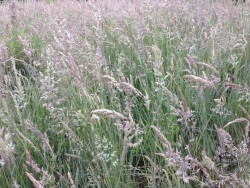 LLP Rough Grass Midsummer Walk [Jo Plant] 190614 (B)