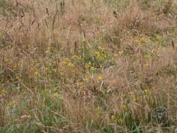 BOT LLP Wildflowers Grasses 31