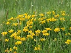 Lennon Legacy Project Wildflowers Bird Foot Trefoil