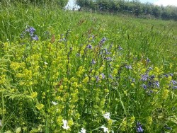 Lennon Legacy Project Wildflowers Bluebell Crosswort