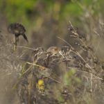 Linnet In The Bird Crop LLP Wildlife Diary October 2019