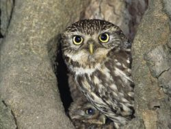 Little Owl With Young [Simon Booth photography]