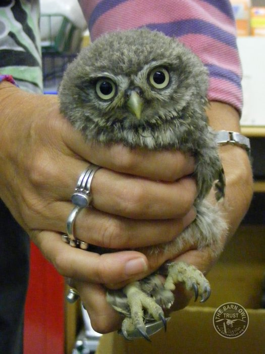 Little Owl in rehabilitation [Maxine Chavner]
