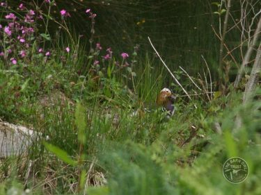 Mandarin Drake On The Ponds LLP Wildlife Diary April 2017