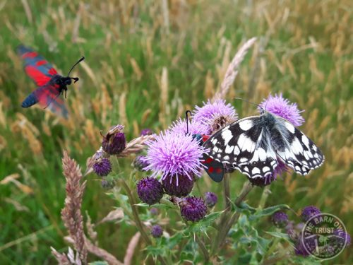 Marbled White Burnet Moth LLP Wildlife Diary