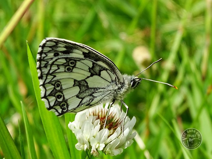 Marbled White Butterfly LLP Wildlife Diary July 2016