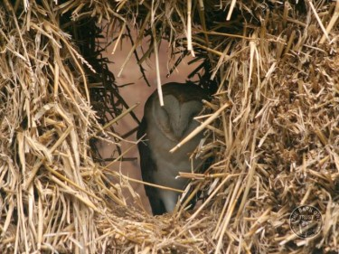 Nest Roost Sites Barn Owl in straw bales