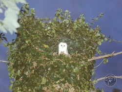 Nest Roost Sites Barn Owl On Hollow Tree