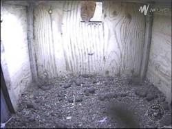 Barn Owl Webcam Nestcam Screenshot 1st March 2015