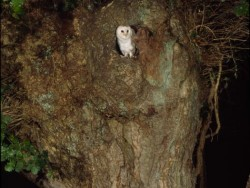 Openings Holes Barn Owls Tree1