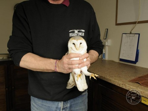 Owl Care Barn Owl Casualty Assessment Held 1