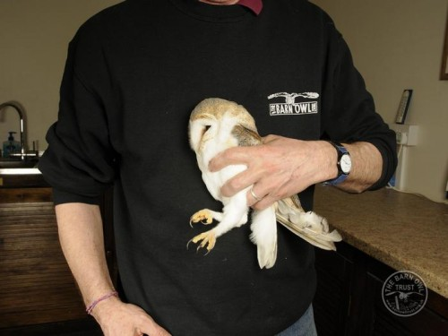 Owl Care Barn Owl Casualty Assessment Held Changing Hold