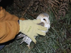 Owl Care Barn Owl Casualty How To Pick It Up