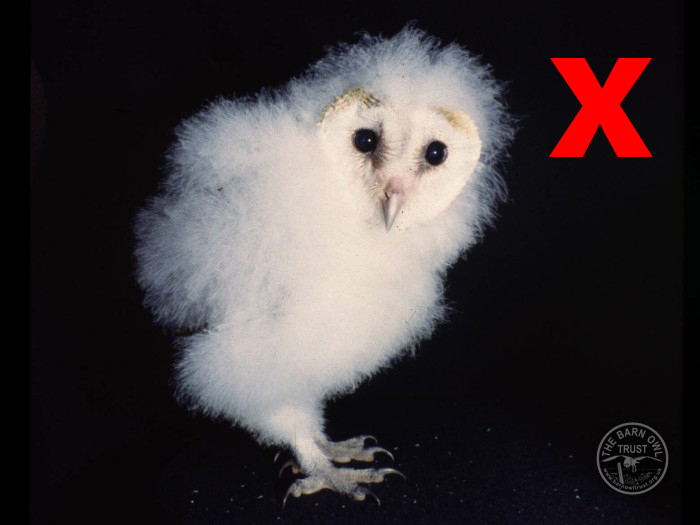 Owlet Barn Owl Cross