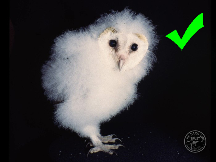 What To Do If You Find A Young Barn Owl The Barn Owl Trust