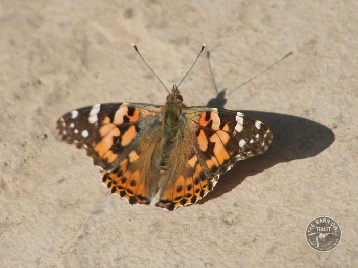 Painted Lady Butterfly [David Ramsden]
