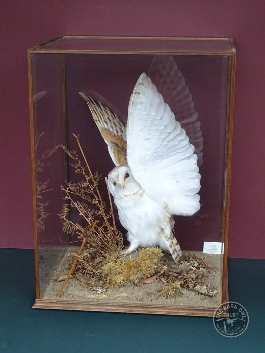 Taxidermied Barn Owl In Case