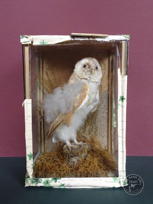 Taxidermied Nestling Barn Owl In a Case
