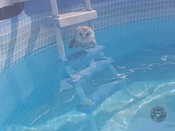 Pool Barn Owl August 17
