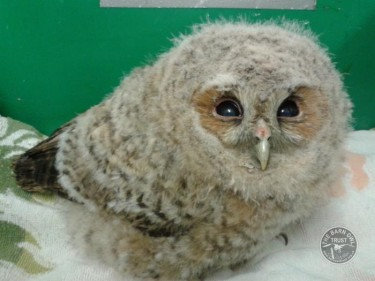 Porridge The Tawny Owl