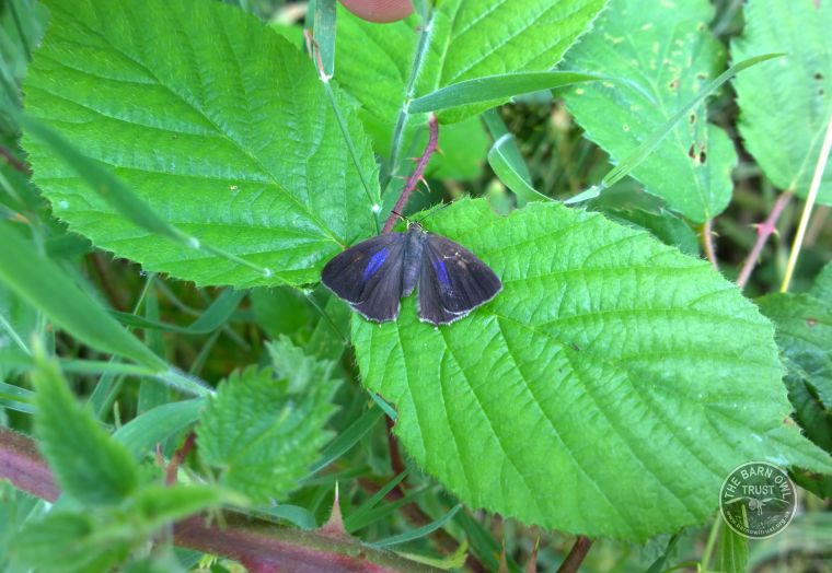 Purple Hairstreak Butterfly In The LLP Wildlife Diary July 2015