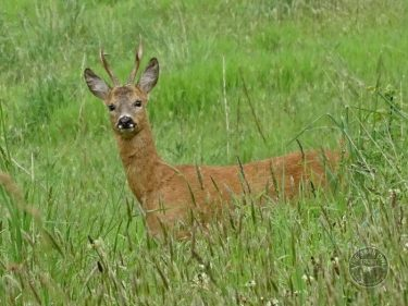 Roe Deer In The LLP LLP Wildlife Diary August 2017