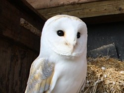 Sexing Barn Owls 01